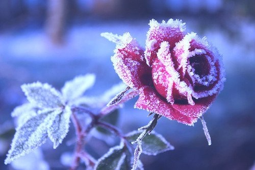 frozen rose rosa brina