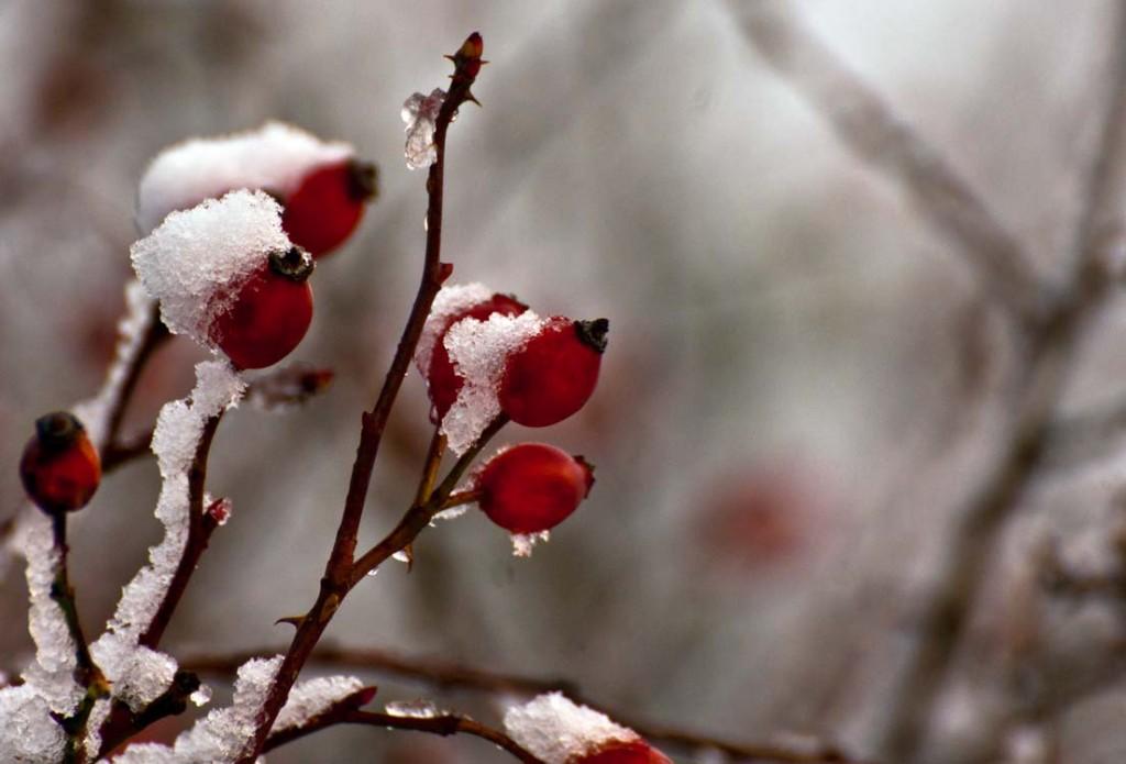 rose hips drupe snow winter frozen inverno neve brina
