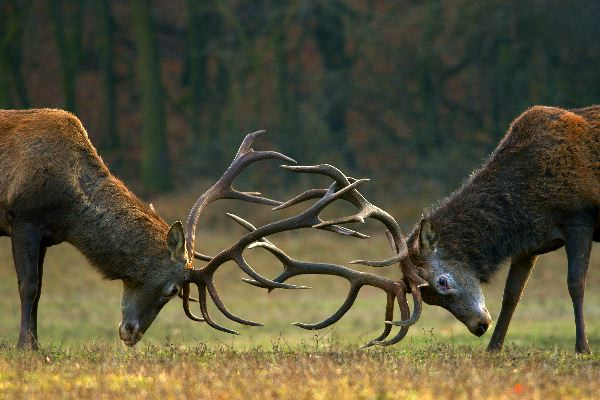 Red_Deers_Fighting_600